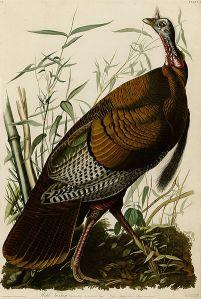 Wild turkey | John James Audubon | 1826
